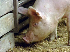 pig hog swine flu feedlot