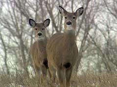 deer whitetail antlerless hunting winter