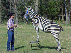 Jared Lynch zebra Kenya does tricks