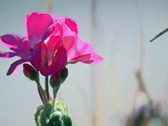 flower fall pink and pretty sunny weather plant growing