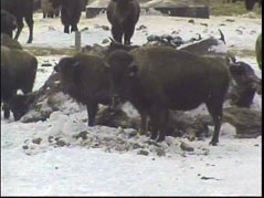 bison, buffalo, west river