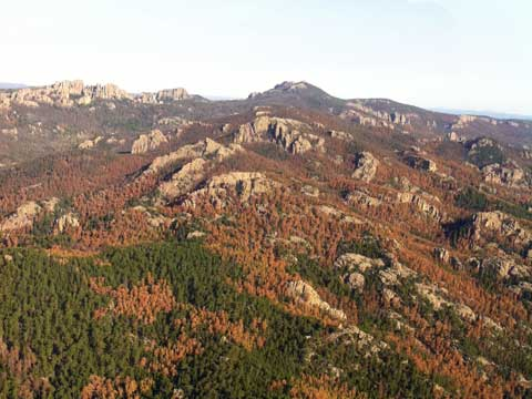 pine beetles infestation black hills trees forest
