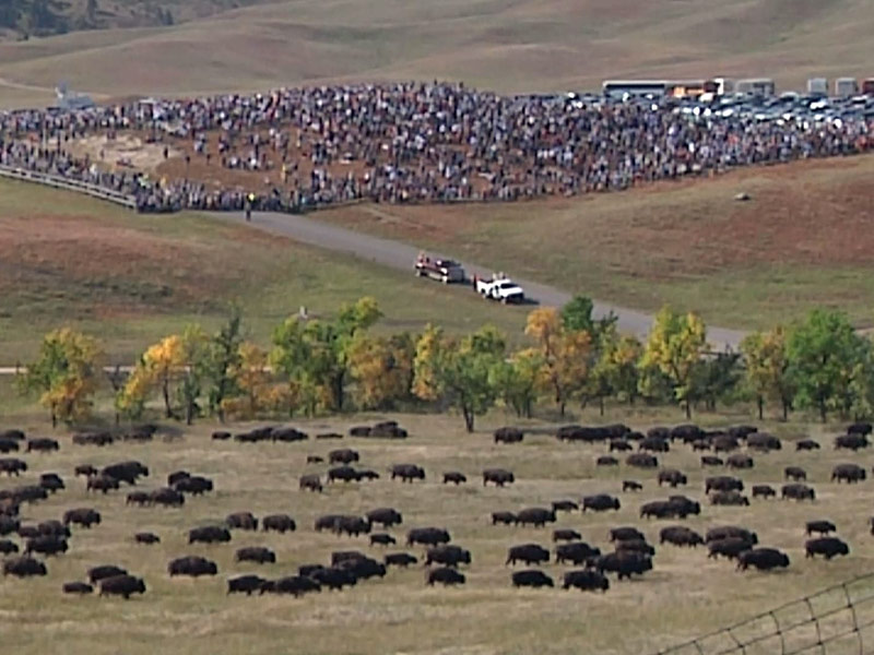 custer state park buffalo roundup crowd
