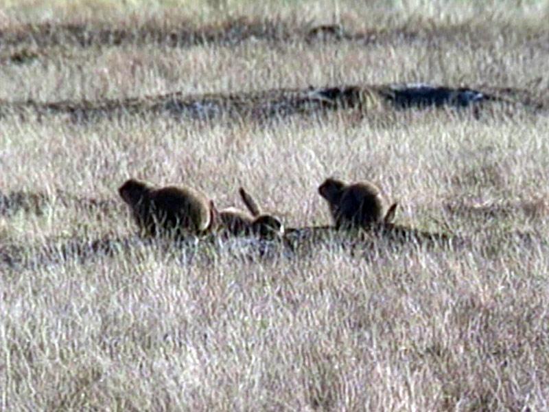 prairie dogs damage to land