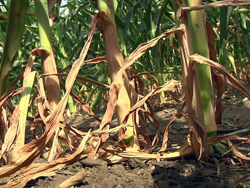 dry drought corn crops