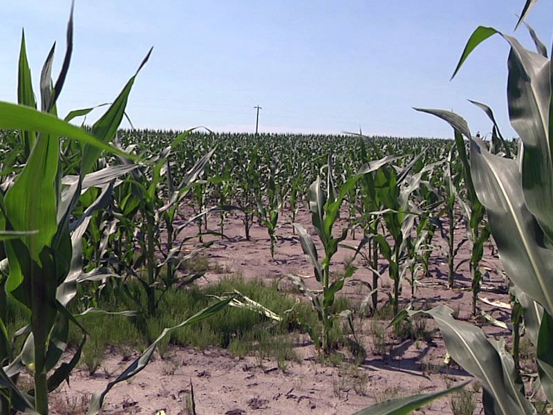 corn crops weather summer sunshine warm
