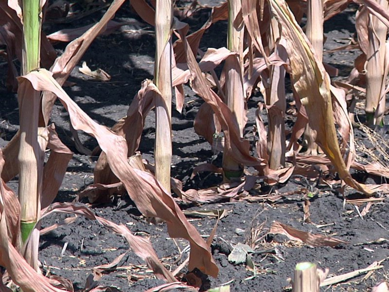 dry corn crop drought agriculture field