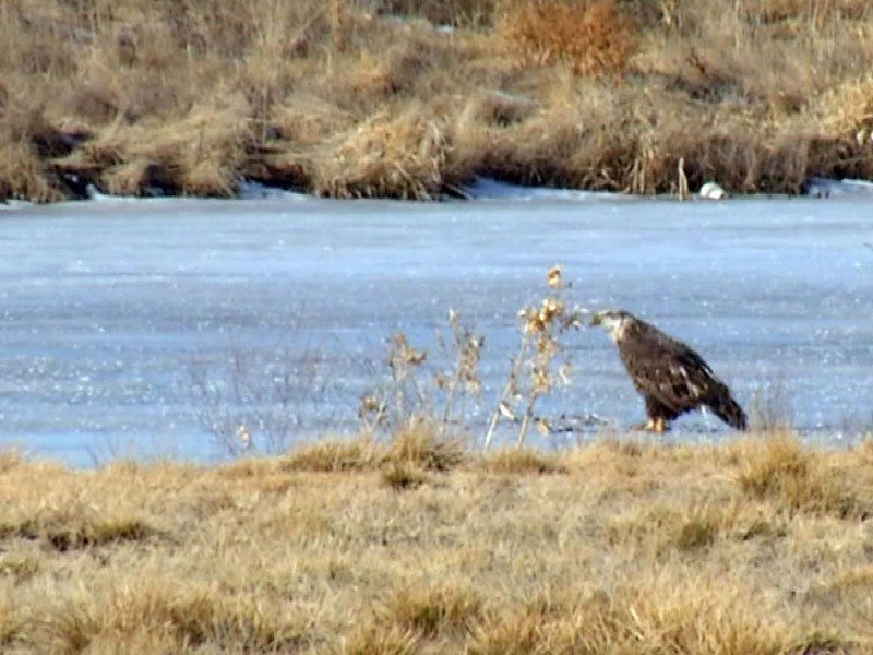 bald eagle spotted in sioux falls near 57th and sycamore