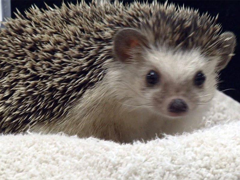 Reggie, great plains zoo headgehog