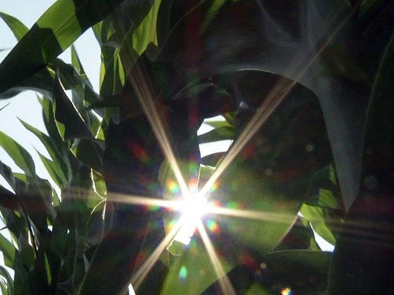 crops corn field summer farm