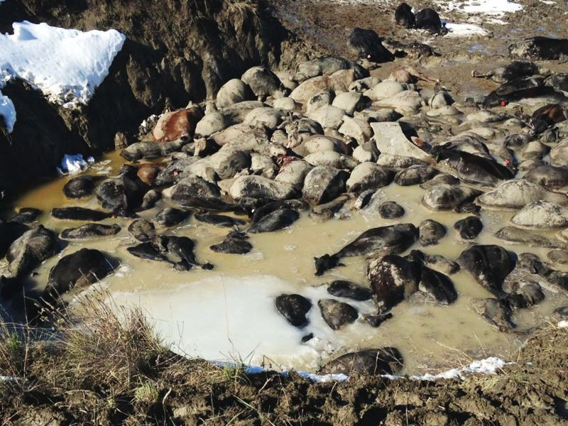 Livestock Lost After Snowstorm.