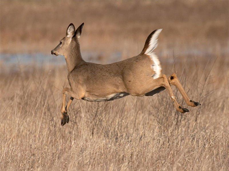 white tail deer generic file