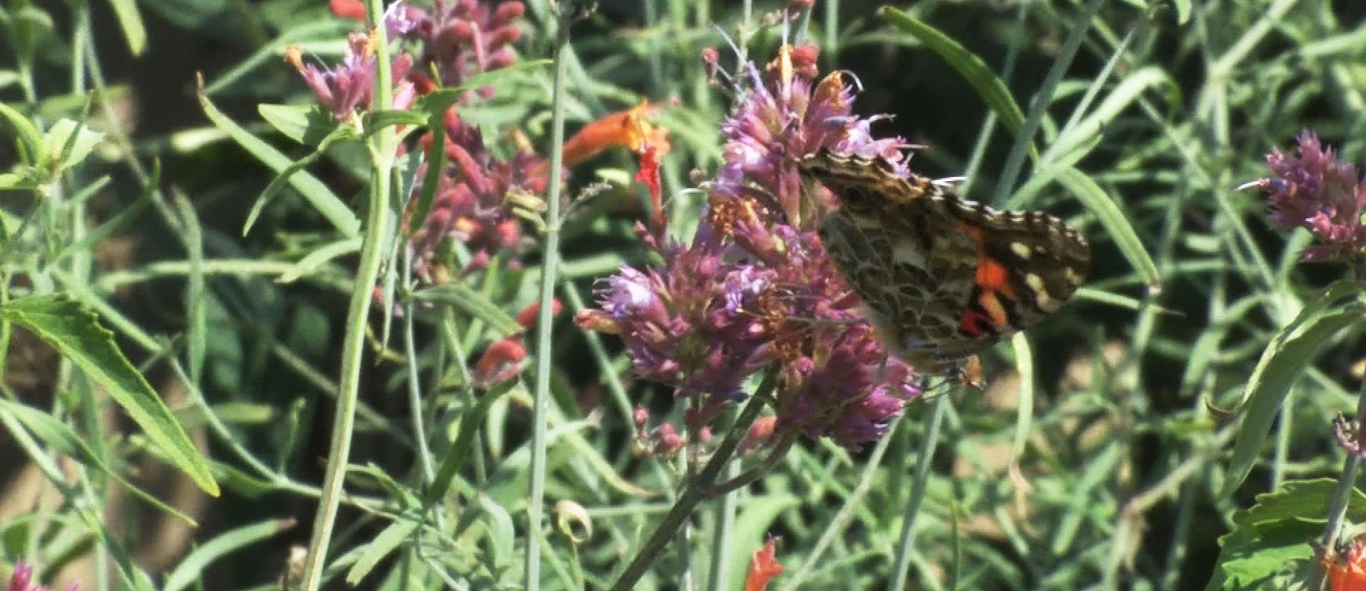 butterflies swarm sioux falls