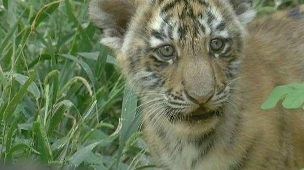 Three Tiger Cubs Come To Omaha Zoo