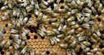 Survey Shows Honey Beehive Losses Up In South Dakota
