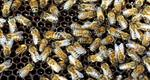 Mysterious 'Zombie Bee' Scourge Reaches Southern U.S.