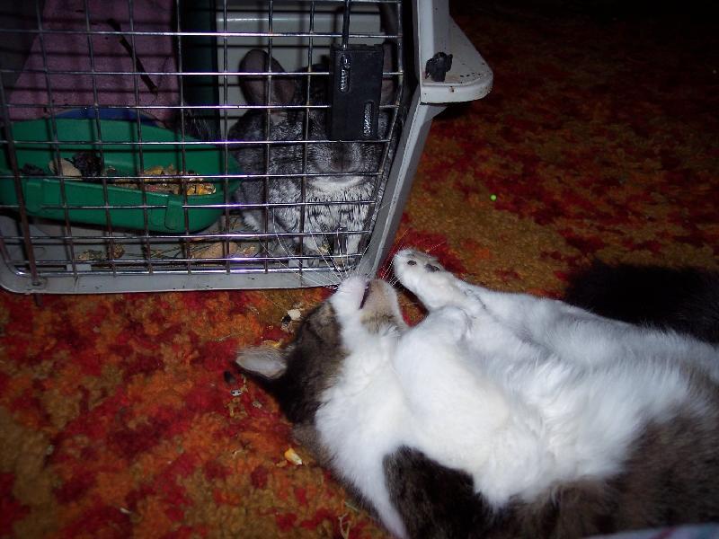 Cheech, Chinchilla & Fluffy, Kitten