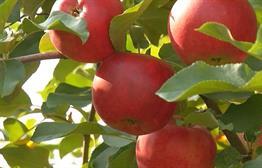 An Early Apple Harvest