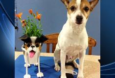 Otis, Jack Russell Terrier