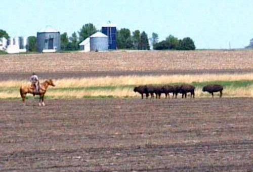 A cowboy involved in a standoff with buffalo