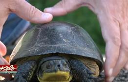 An Endangered Turtle's Journey Across South Dakota