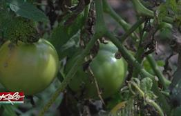 Local Gardeners and Farmers Give Fresh Produce To Feeding South Dakota