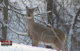 Sioux Falls Police Continue To Thin Out Deer Herd